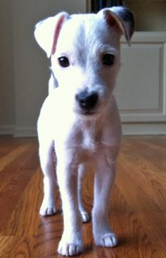 OMG I wish I could have seen my Sadie as a pup! (All-white Jack Russell Terrier)