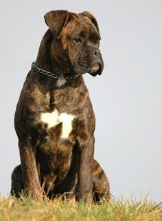 """Check out our internet site for more details on """"Boxer Puppies"""". It is actually an exceptional place to read more. Brindle Boxer, Boxer Breed, Boxer Rescue, Boxer And Baby, Boxer Love, Boxer Puppies, Dogs And Puppies, Doggies, Schnauzer"""