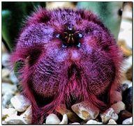 stapelia obducta cactus flower - Google Search