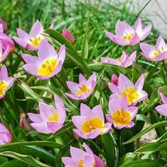 Tulip Species bakeri Lilac Wonder Size:6/7 pack Striking lilac-pink flowers with a pretty yellow centre, these species tulips have short stems with pointed petals. Tulips are one of the most popular bulbs, as they are great planted with many differ http://www.comparestoreprices.co.uk/january-2017-7/tulip-species-bakeri-lilac-wonder-size6-7-pack.asp