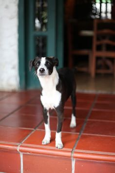 Black and White Dog in Mindo Ecuador e8a561425
