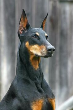 Doberman Pinscher. - I find to be one of the most beautiful dog breeds.