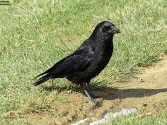 Corneille noire - Carrion crow - Corvus corone by Thomas Humbert