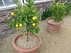 Dwarf Fruit Trees: A Planting Guide For Fruit Trees In Containers - Dwarf fruit trees do well in containers and make care of fruit trees easy. Let's learn more about growing dwarf fruit trees. Potted Fruit Trees, Fruit Trees In Containers, Fruit Tree Garden, Dwarf Fruit Trees, Fruit Plants, Garden Trees, Trees To Plant, Small Fruit Trees, Herbs Garden