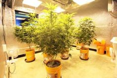 If you are looking to get as much information as possible about marijuana cultivations and its commercial growing operations in Illinois, then it is important that you do not miss the next dispensary workshop in Illinois.