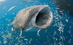 Whale feeding time! A whale shark feeds on hundreds of tiny fish while lurking below nearby fishing boats. With its mouth wide open, the 26ft long beast drifts past at about five miles an hour gobbling up all the small fish in one go. A total of six whale sharks emerged, keen to take advantage of the easy food on offer. Wildlife photograper Reinhard Dirscherl from Munich, and wife Daniela hopped off the boat to grab the snaps just off the West Papua coastline in Cendrawasih Bay, Indonesia.