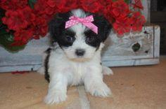 Malshi puppy - maltese and shih tzu mix