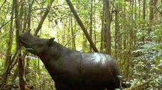 Erster Kontakt seit 40 Jahren: Sumatra-Nashorn stirbt kurz nach Wiederentdeckung