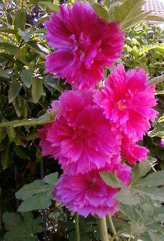 Deep Pink Hollyhocks - Gorgeous !