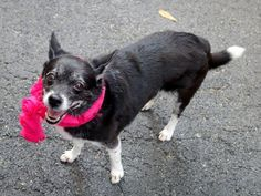 PRINCESS - ID#A1008040  I have been adopted!  I am a spayed female, black and white Chihuahua - Smooth Coated mix.  The shelter staff ...