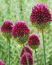 50 x Allium Drumstick Bulbs. Memorial Garden, Flower Garden, Allium Flowers, Bee Garden, Bulb Flowers, Allium Sphaerocephalon, High Country Gardens, Trees To Plant, Flowers
