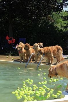 """Obedience training....Golden Retrievers by nature cannot resist a tennis ball...especially in a swimming pool..."" My Tom would have failed, and quite happily :-D"