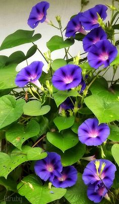 Great gardening tips, ideas and plants for growing a beautiful garden Flowers Nature, Flowers Garden, Exotic Flowers, Amazing Flowers, Purple Flowers, Planting Flowers, Beautiful Flowers, Arrangements Ikebana, Morning Glory Flowers
