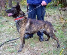 Dutch Shepherd - Male in standard color.