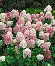 NOVINKA! Hortenzie 'Sundae Fraise';  Barva jako jahody se šlehačkou. Dekorativní, tmavě vínové stonky. Latnaté hortenzie mají výhody: 1. Jsou absolutně mrazuvzdorné, a to do -30°C i více. 2. Když je po odkvětu razantně seříznete, pokvetou napřesrok bohatěji. 3. Jejich květy jsou ve velikosti XXL - ještě větší, než u velkokvětých hortenzií! 4. Barva květů se mění v průběhu kvetení a nebledne, naopak získává na sytosti. 5. Kvetou až do konce podzimu, kdy ostatní hortenzie už odkvetly.