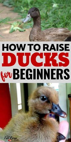 Are you interested in raising ducks on your homestead? Here's how to raise ducks- from ducklings- successfully! Ducks are a great poultry option for the homestead and they are just as easy to raise as chickens. Learn how to raise ducks for eggs (or pets! Raising Farm Animals, Raising Ducks, Raising Chickens, How To Raise Ducks, Backyard Ducks, Backyard Farming, Chickens Backyard, Pet Ducks, Baby Ducks