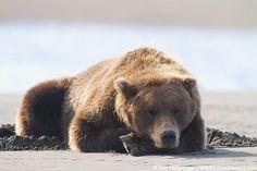 Grizzly Bear Sleeping