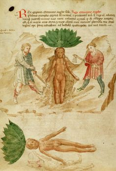 "Yale Medical Library MS 18, f.49v. Herbarium Apuleii and other works.  Lombardy,  c.1400 ""One anthropomorphic figure, ""mandragora,"" (family Solanaceae), probably Mandragora officinarum (Mandrake), stands with arms extended, basal leaves crowning the human-shaped root. Two men flank the plant both dressed in tunics and shoes. Man to the l. is digging with shovel, while man at r. holds ax. Below, another anthropomorphic figure of mandrake reclines with ""arms"" exten..."