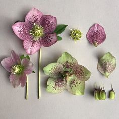 H E L L E B O R U S . orientalis variety unknown botanical study and deconstruction.  #botanicaldeconstruction #botanicalstudy  #hellebore #speckled #helleborusorientalis