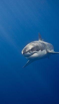 Cool Sharks, Shark Photos, Shark Art, Shark Tattoos, Great White Shark, Ocean Creatures, Shark Week, Underwater World, Sea World