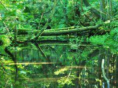 杉沢の沢スギ。反射している水面のエメラルドグリーンが心地よい
