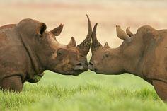 Deux rhinocéros blancs, Afrique du Sud