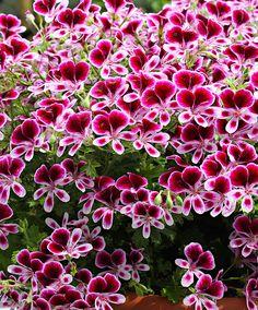 Geranium 'Mosquitaway Eva'   Plants from Bakker Spalding Garden Company