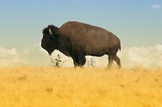 Buffalo, the national animal for a would-be independent American West