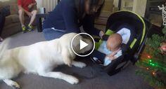 Golden Retriever Conhece Novo Bebé Da Família Pela Primeira Vez, e a Sua Reação é Maravilhosa
