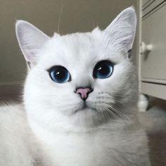 まだあどけない表情なのに眼力が半端ない子猫が大人になった結果、とんでもなく美しい瞳の美猫に大成長!