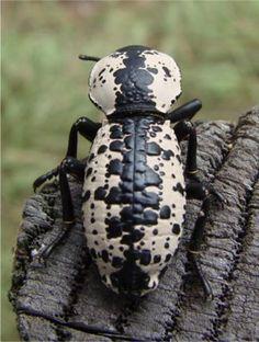 Ironclad Beetle (Zopherus nodulosus )