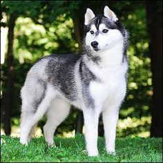Siberian Huskies will always do best in a large fenced yard.