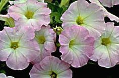 "Good article on ""Growing Petunias"" by  Deborah Brown ~ breaks down the diff. types, how they vary in growth pattern, etc..."