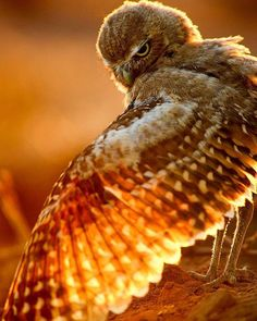 Owl bathed in fall (autumn) sunshine