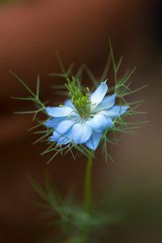 Nigella (by shinichiro*) Little Flowers, All Flowers, Sugar Flowers, Pretty Flowers, Strange Flowers, Unusual Flowers, Amazing Flowers, Nigella, Garden Trees
