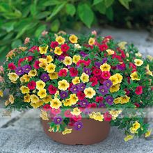 100//200 Hermosa flor de ma/ñana Morning Glory Semillas Jard/ín Bonsai Pot Flor ADOLENB Seed House