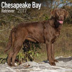 Avonside Hunde-Kalender 2017Avonside Hunde Wandkalender 2017: Chesapeake Bay Retriever
