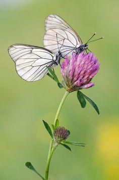 taken last summer Madame Butterfly, Butterfly Kisses, Butterfly Flowers, Green Nature Wallpaper, Pink Clouds Wallpaper, Beautiful Bugs, Beautiful Butterflies, Beautiful Pictures, Flying Flowers