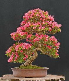Easy To Grow Houseplants Clean the Air Bonsai Azalea Indica Bonsai Tree Types, Indoor Bonsai Tree, Bonsai Plants, Bonsai Garden, Bonsai Trees, Ikebana, Exotic Flowers, Beautiful Flowers, Bonsai Azalea