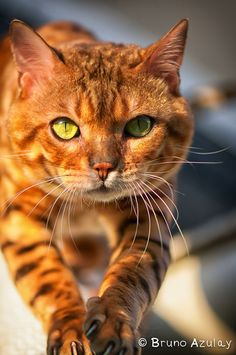 Bengal Cat,  My first love is animals, nature, children, they manifest real love and intelligence, showing us the right path, there is not such thing as the big bang, life has been there always in different disguises and black holes are in fact sun universes,   https://stargate2freedom.wordpress.com/2016/05/03/cruelty-to-animals-is-a-fact/