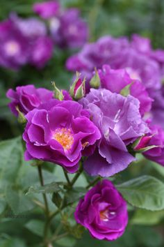 Rose 'Rhapsody in Blue' Beautiful Rose Flowers, Wonderful Flowers, Love Rose, Exotic Flowers, Love Flowers, Orchid Flowers, Lavender Garden, Roses Garden, Shrub Roses