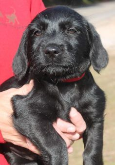 Meet Zeta 22055, a Petfinder adoptable Labrador Retriever Dog | Prattville, AL | Zeta is a 2-month-old female Lab mix. She is solid black and a simply beautiful puppy. We expect...