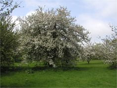 Aspalls Chevallier Orchard makes delicious cider which we use at Tracklements Piccalilli, Nature, Plants, How To Make, Naturaleza, Plant, Off Grid, Natural, Mother Nature