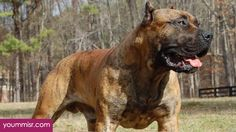 Top 10 Most Dangerous Dog attack Breeds youm misr See you don't see @ http://www.yoummisr.com/?p=591