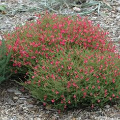 This cute little flowery bush is Lechenaultia formosa