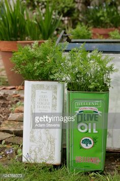 Stock Photo : Carrots (Daucus carota) planted in recycled olive oil containers