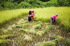 Rice farmers working in fields.