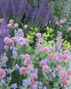 Combination: salvia, alchemilla, pink chives, nepeta