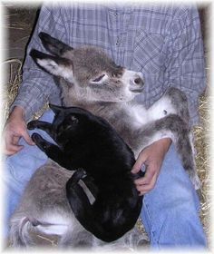 Baby donkey & cat nap in farmer's lap. They look as though all 3 of them feel completely safe. Baby Donkey, Cute Donkey, Mini Donkey, Baby Cows, Baby Elephants, Cute Baby Animals, Animals And Pets, Funny Animals, Wild Animals