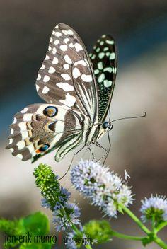 Citrus Swallowtail by Jon-Erik Munro on / butterflies nature Papillon Butterfly, Butterfly Kisses, Butterfly Flowers, Flying Flowers, Butterflies Flying, Beautiful Bugs, Beautiful Butterflies, Funny Bird, Moth Caterpillar